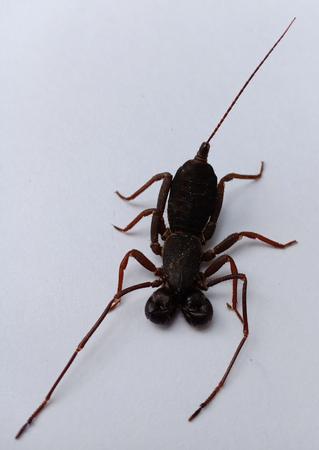 A Whip scorpion. Banque d'images