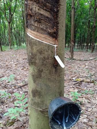 Slit on rubber trees. Banque d'images