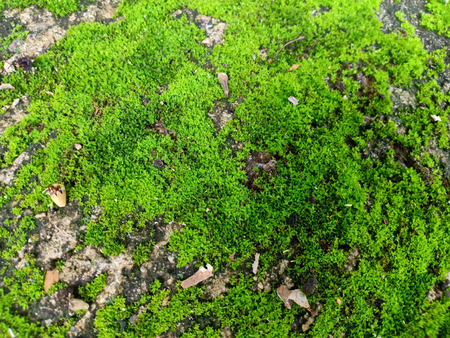 Colony of bryophyte. Banque d'images