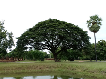 Big tree and sugar palm in historical park.