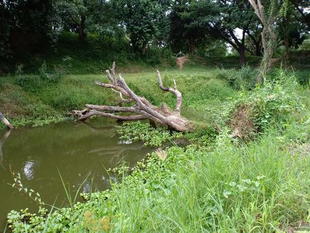 Dead tree fall in canal.