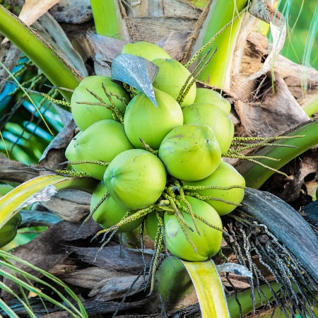 Coconut tree and green fruit photo