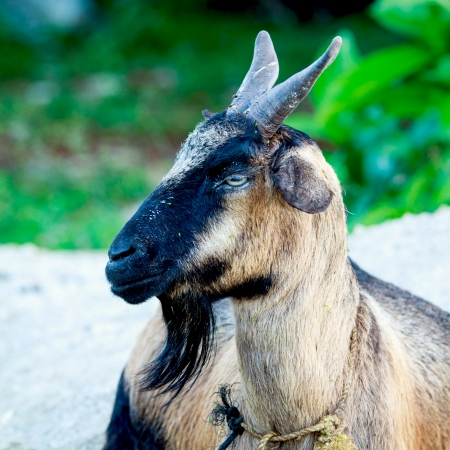 Pet goats can provide valuable economic benefits to meat, milk and leather  Stock Photo