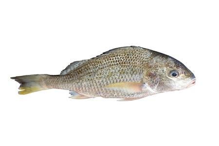 cypriniformes: fresh fish  isolated on white background