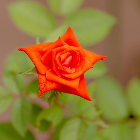 valentinas: Orange roses on a natural background