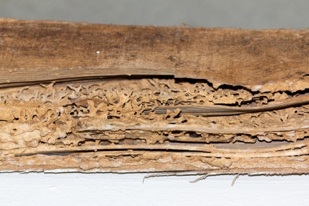 insecta: Termite nests in an abandoned wooden house built