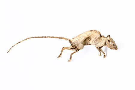 dead rat: Dead rat isolated on white background