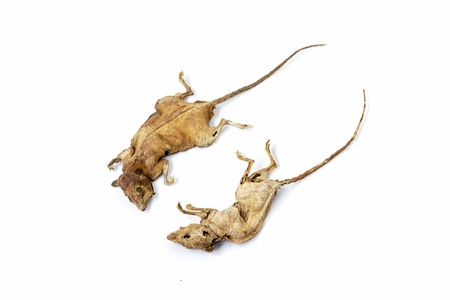 Dead rat isolated on white background  photo