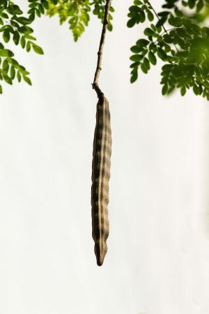 oleifera: Drumstick yield unto  or  Moringa oleifera