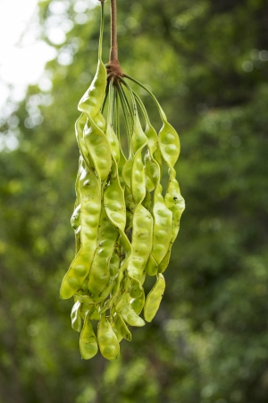 Bitter bean, Twisted cluster bean, Stink bean (Parkia speciosa) is a perennial plant in the pea family. Stock Photo - 22634085