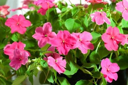 lizzie: Busy Lizzie flowers beautiful pink