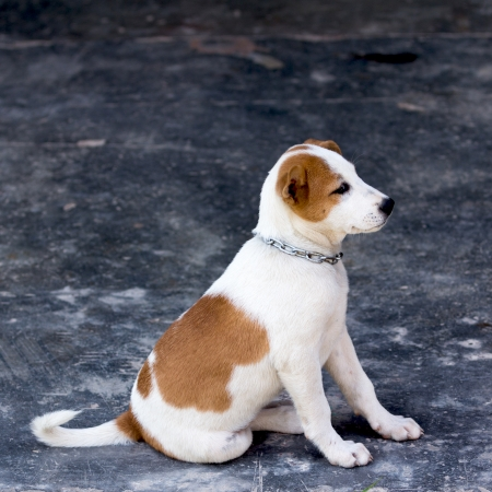 Female dog is breed native in Thailand  photo