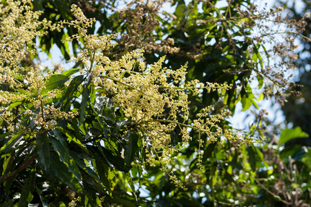 Mango flowers on tall branches photo