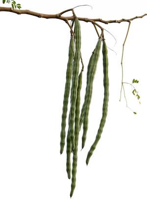 oleifera: Rendimiento Palillo a Moringa ole�fera o
