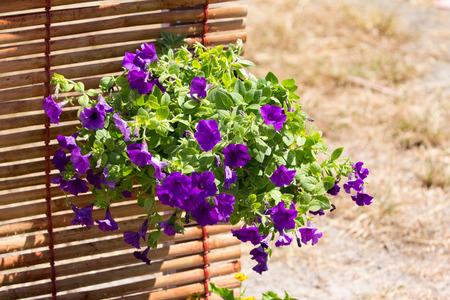 lizzie: Busy Lizzie flowers beautiful purple