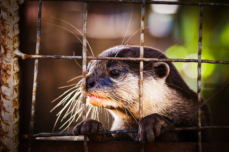 small clawed: Oriental small clawed otter was trapped in a cage