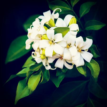 jessamine: vintage Orange Jessamine flower, Satin-wood, Cosmetic Bark Tree is a small to medium sized trees