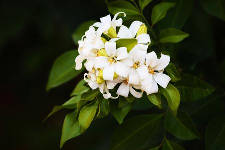 jessamine: Arancione Jessamine, Raso-legno, Cosmetic Bark Tree � un piccolo albero di medie dimensioni