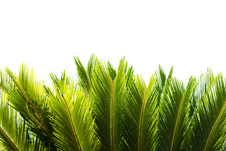 cycad: Cycad tree on natural background Stock Photo