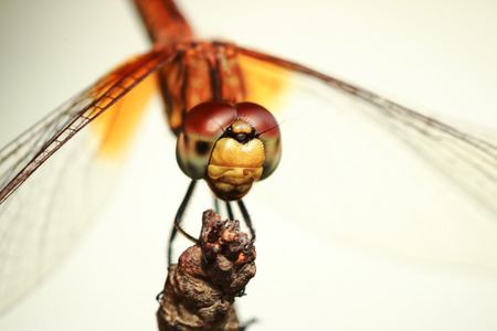 Close up  face Golden Dragonfly  photo