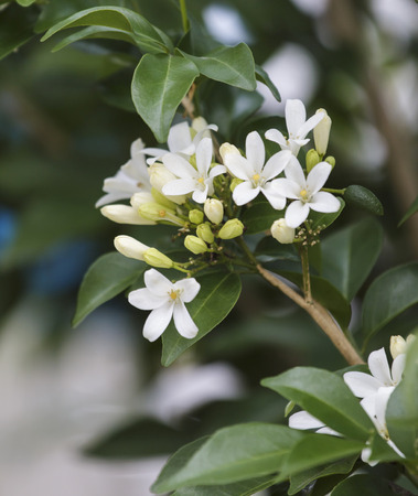 jessamine: Orange Jessamine, Satin-wood on  trees