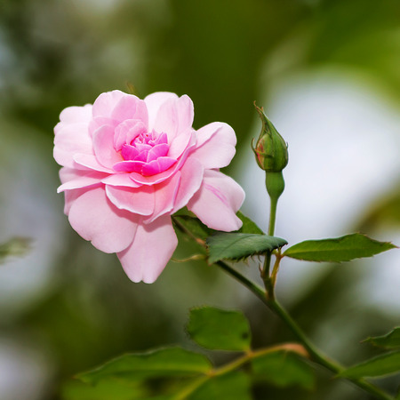 valentinas: pink  roses on a natural background.