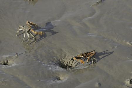 fiddler: fiddler crab on sand beach. Stock Photo