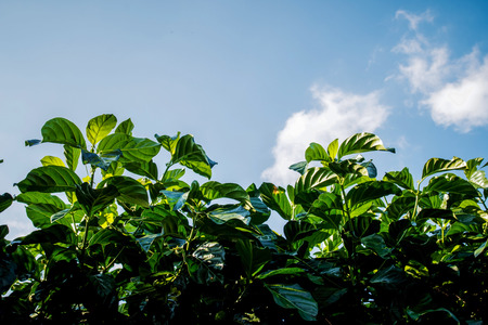 great morinda: Noni, Great morinda, Beach mulberry  Leaves on the sky background Stock Photo