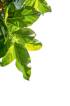 great morinda: Noni, Great morinda, Beach mulberry  Leaves on the white background.
