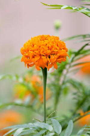 tree marigold: marigold flower on tree.