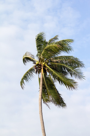 wind blowing: Coconut trees, the wind blowing in the morning.