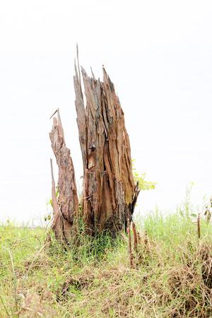 stumped: Tree stump on white background.