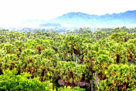palmyra palm: Palmyra palm tree field, Thailand. Stock Photo