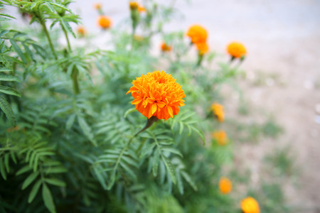 tree marigold: Marigold flowers on tree in the morning