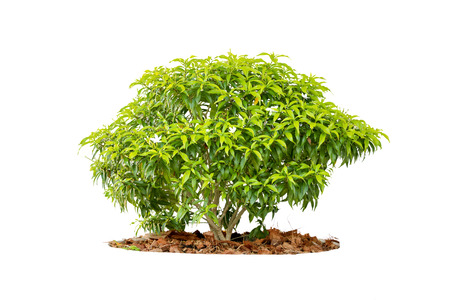 bush trimming: shrubs or tree isolated on white background