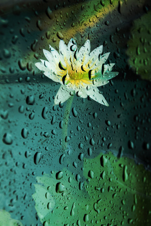 Blurry lotus flower  With rain drops on the glass photo