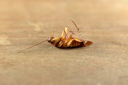 hairy back: Cockroach on a wooden board Stock Photo