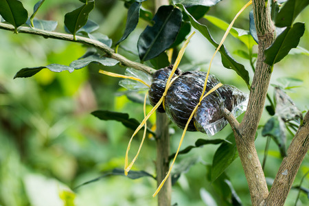 branched: now branched bergamot, plant propagation. Stock Photo