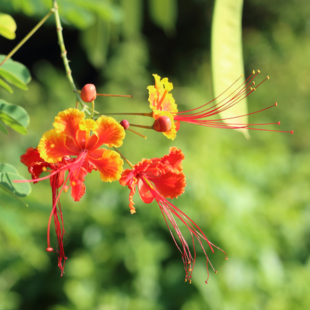 bloom bird of paradise: Peacock Flower or Pride of Barbados Stock Photo