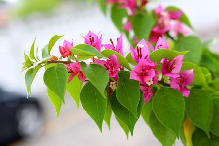 bougainvillea flowers: Bougainvillea flowers  in the morning Stock Photo