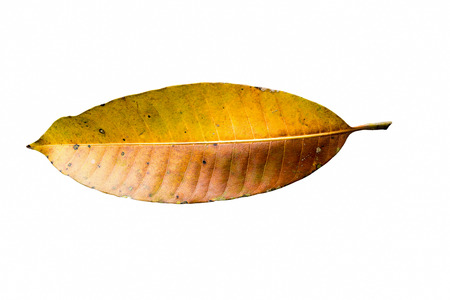 mango leaf: Mango leaf brown and yellow. On a white background Stock Photo