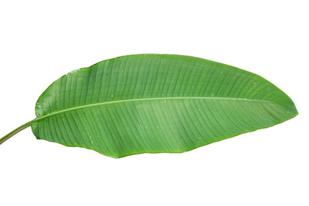 Banana leaf on a white background. Banco de Imagens