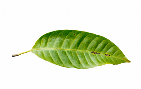 mango leaf: Mango withered leaf on a white background.