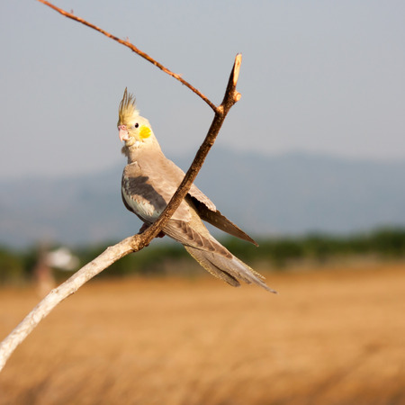 single family: Parrot on a perch on wooden background nature in the evening. Stock Photo