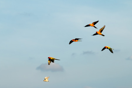 crimson colour: Parrots flying in the sky. in the evening.