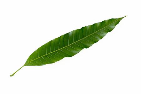 Mango leaf on white sky background 版權商用圖片
