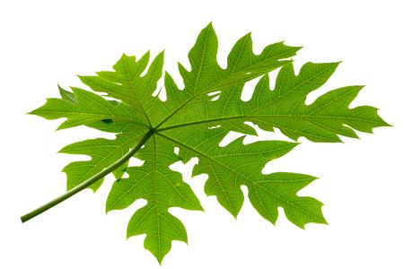 Green Papaya leaf on white background. Stock Photo