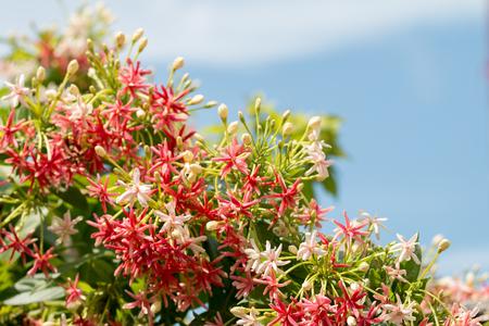 Quisqualis Indica flower plant , Chinese honeysuckle, Rangoon Creeper, Combretum indicum Фото со стока