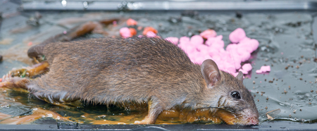 rat in glue stick on the mousetrap i Stock Photo