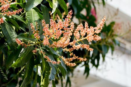 Bunch of  mango flowers on tree in garden. Selective focus